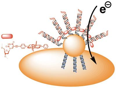 Figure 2: A highly sensitive genosensore based on porphyrin-modified DNA probes and gold nanoparticle coated electrodes