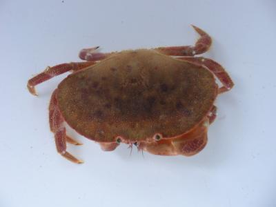 The edible crab (Cancer pagurus). Image courtesy of Ben Ciotti