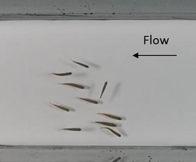Fish schools in open channel flow