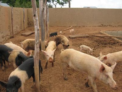 The pig manure is put into the fish tank  as fish food where parasites present  enter the human food chain via the fish