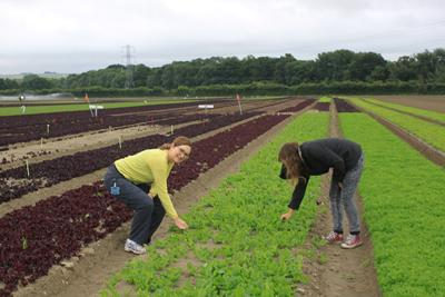 Trialling high antioxidant lettuce crosses on commercial farm (2015)