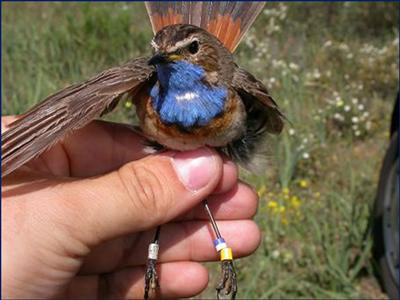 How variable are the habitat needs of Bluethroats across Europe? Bluethroat captured and ringed in northern Spain