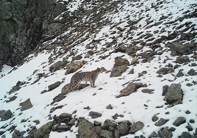 Snow leopards in the mountain ecosystems of Central Asia
