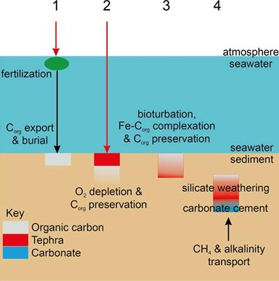 Tephra role enhances organic carbon preservation in marine sediments.
