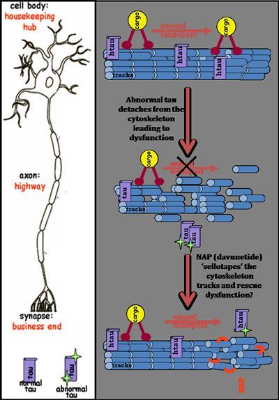 Microtubule stabilisation