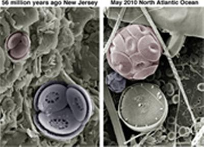 Fossil and modern coccolithophore cells of species Toweius pertusus and Coccolithus pelagicus. Courtesy of Paul Bown, UCL