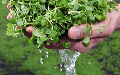 Watercress washed in spring water