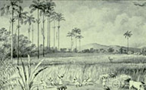 Cutting cane 1823