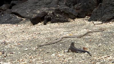Marine Iguana and racer snakes