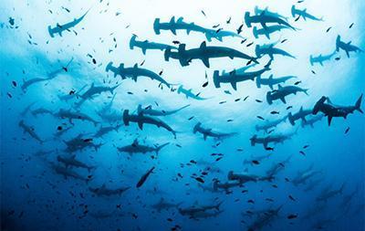 Feeding habits of sharks