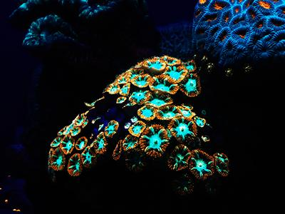 Glowing coral, underwater