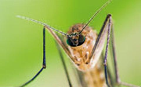 Picture of mosquito