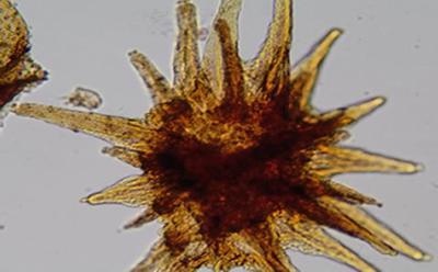 Fossil spore