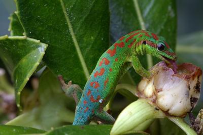 A gecko pollinates a plant.
