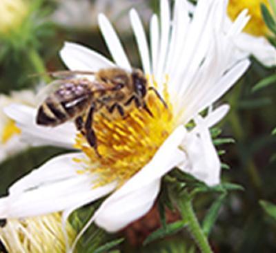Honeybee forager