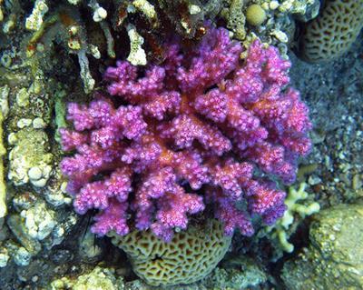 Pocillopora damicornis coral