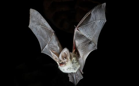 Picture of grey long-eared bat