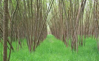 Coppice willow
