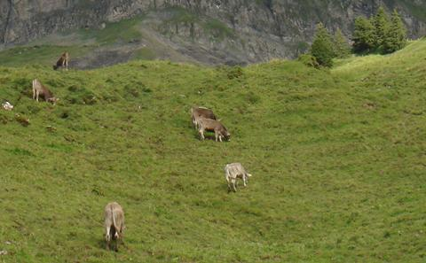 Alpine cattle, Canton of Schwyz