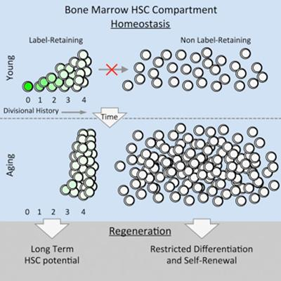 Bone Marrow HSC Compartment