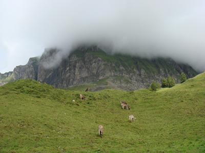 Alpine cattle in the Canton of Schw