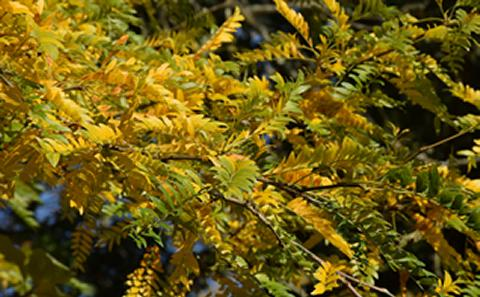 Yellow and green leaves on a tree