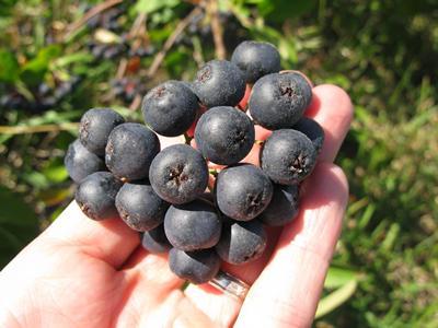Image of Chokeberry