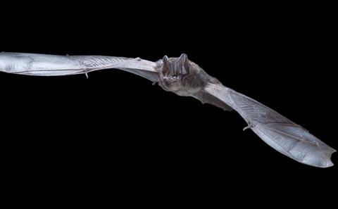 Picture of barbastelle bat