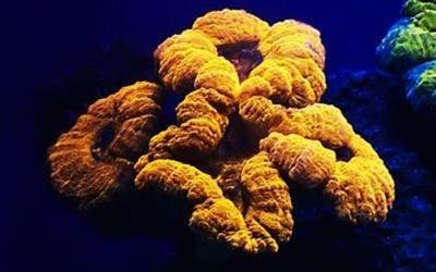 Lobophyllia coral