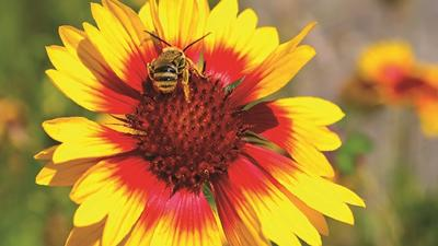 Image of bee and sunflower