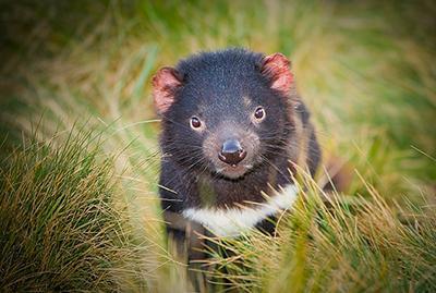 Tasmanian devil in grass
