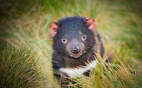 Tasmanian devil in grass