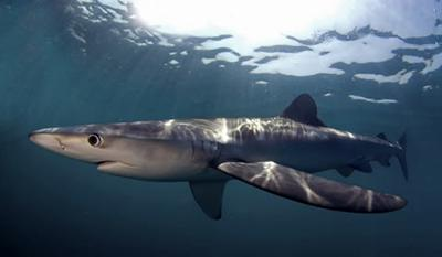 Blue shark Prionace glauca