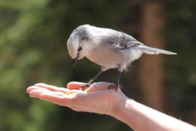 Colorado bird