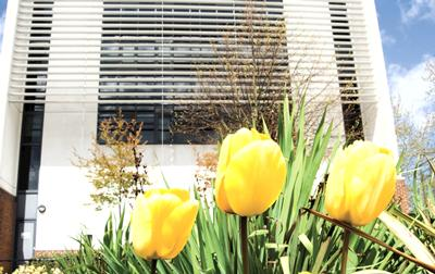 Yellow tulips outside Building 67