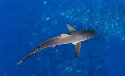 Image of silky shark