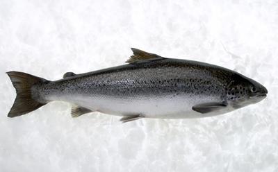 An Atlantic salmon