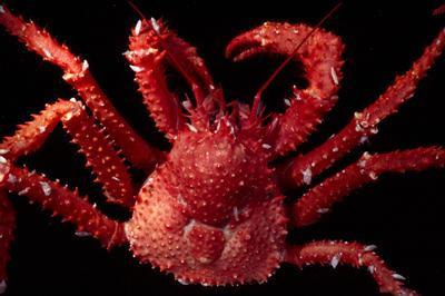 King crab Paralomis elongata