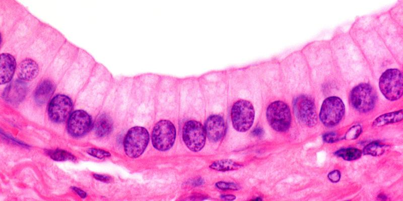 Simple columnar epithelium of an excretory duct of the pancreas under a microscope
