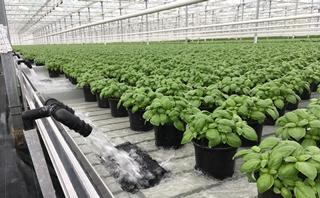 Basil plant production