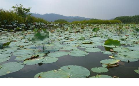 water lilies on lake