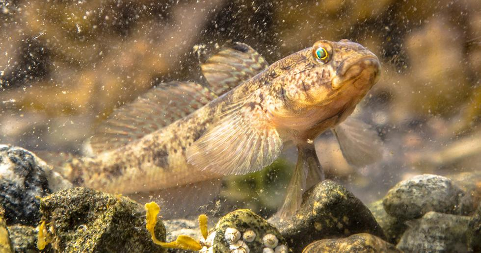 Gobby Fish